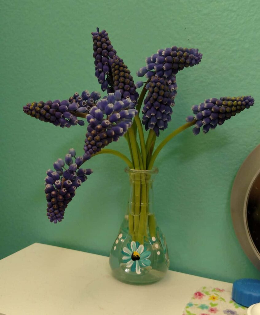 muscari flowers (bluebells) also known as grape hyacinths