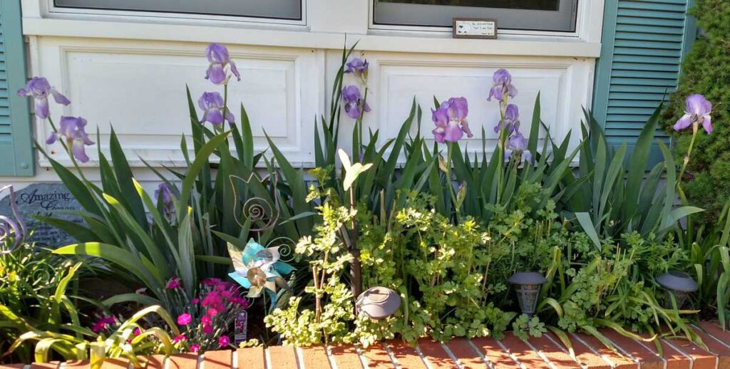 lavender irises in a flower bed