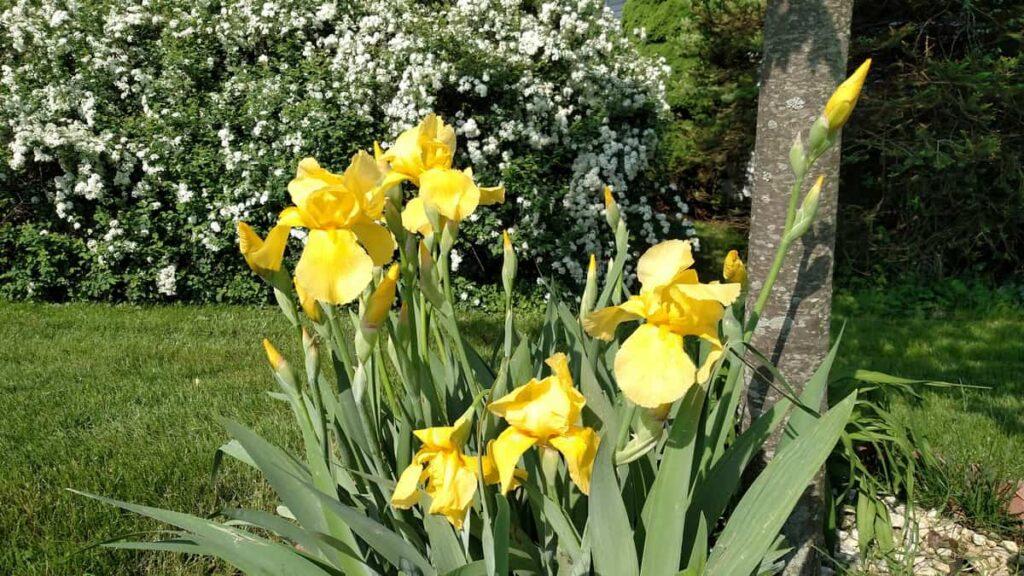 Large yellow irises