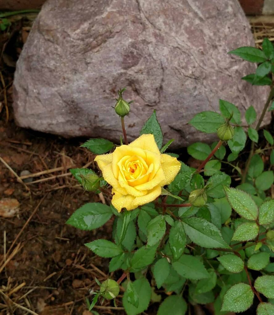 closeup of miniature yellow rose