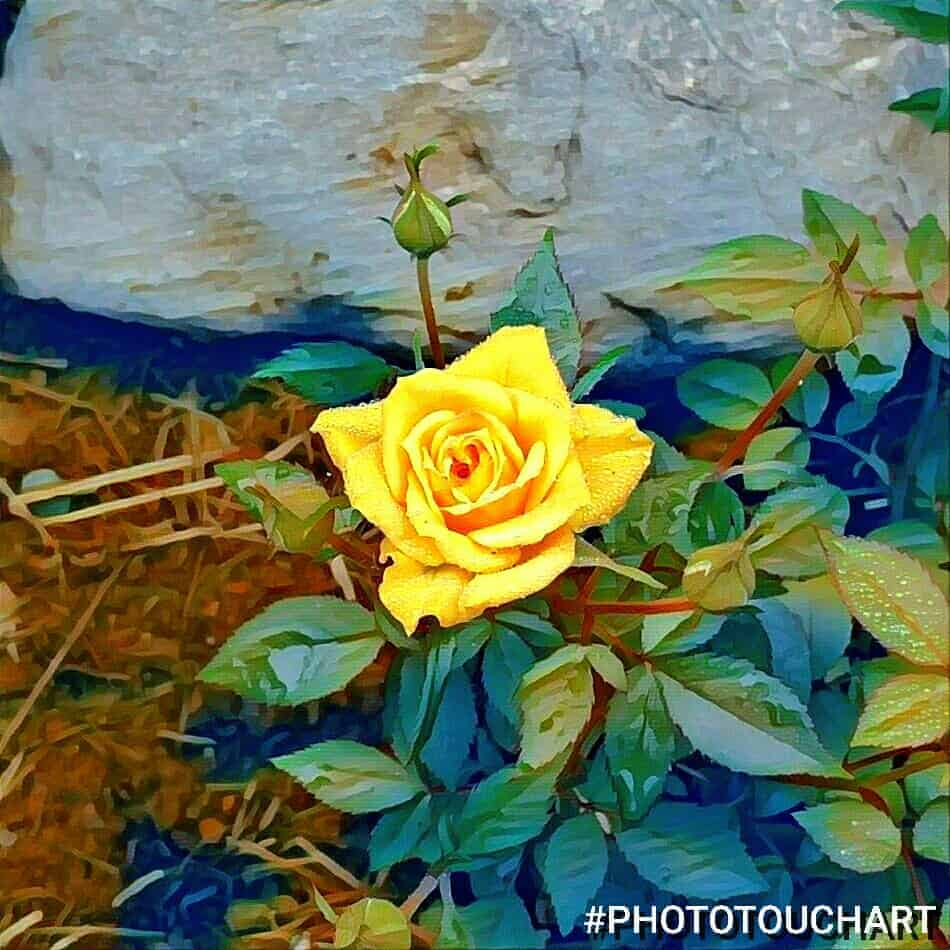 yellow rose altered with an app