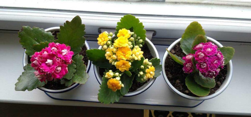 three colors of kolanchoe plants