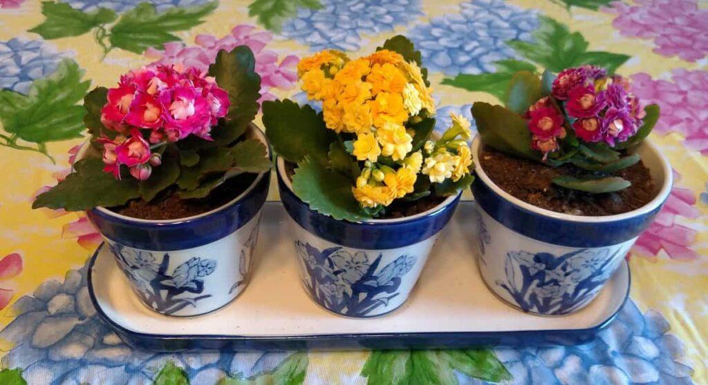 three beautiful kolanchoe plants