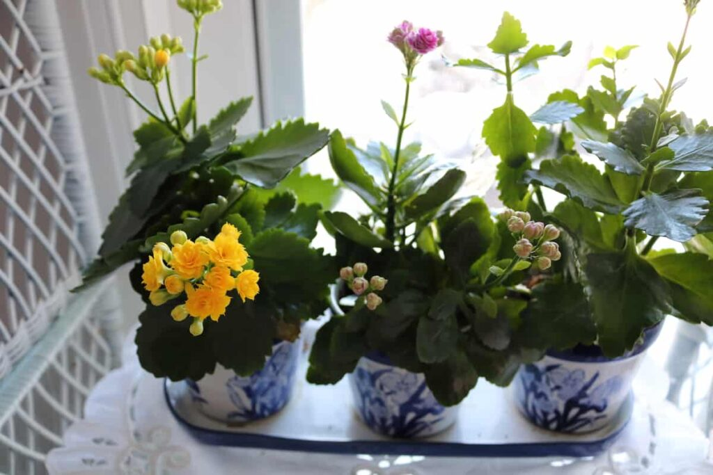 growing kolanchoe plants