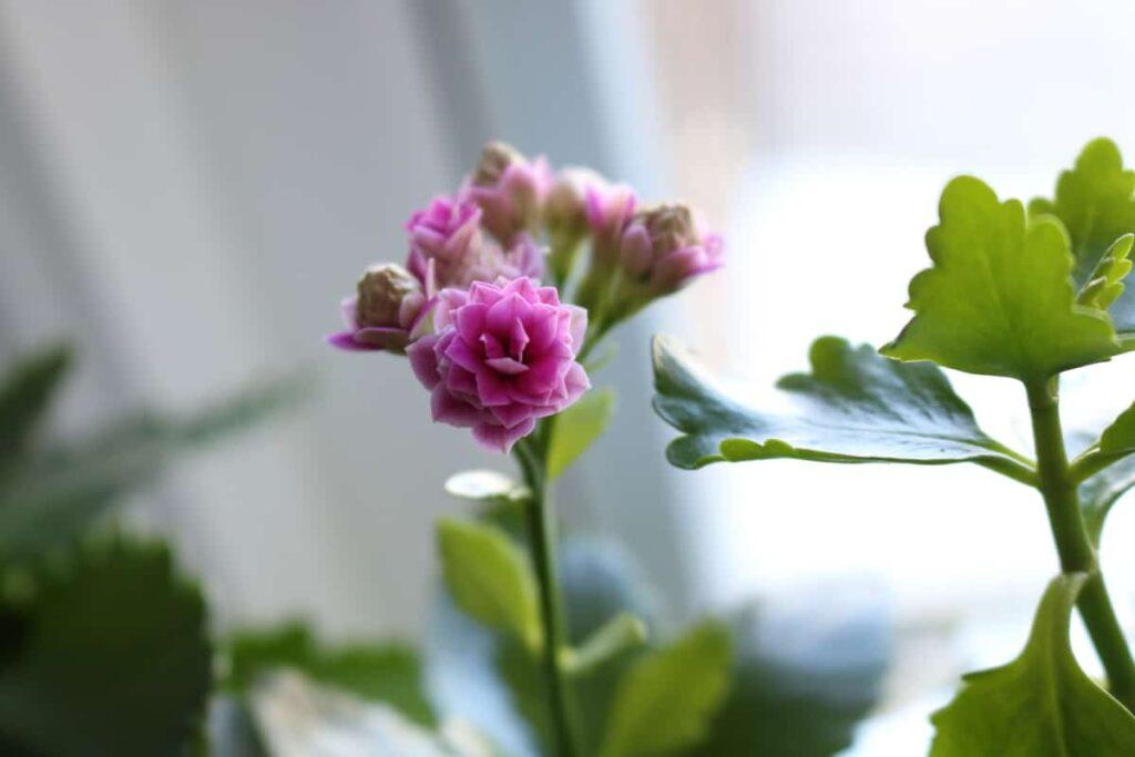 closeup of pink kolanchoe