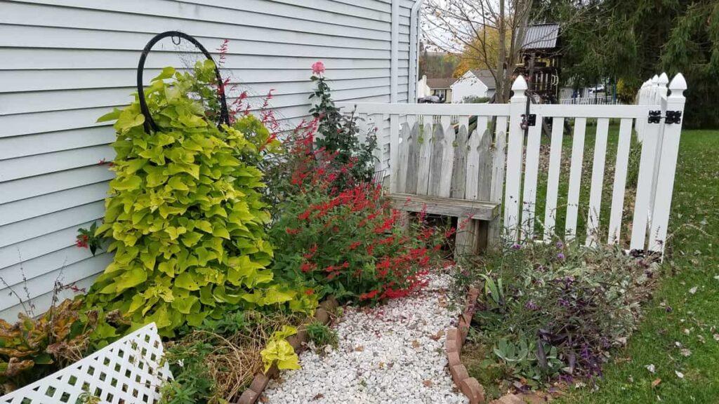 fall landscaping-- climbing sweet potato vine, blooming pineapple sage