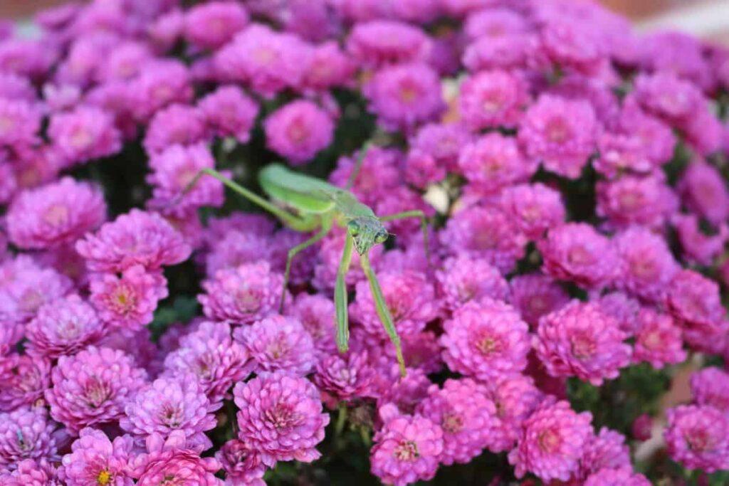 praying mantis on purple mums