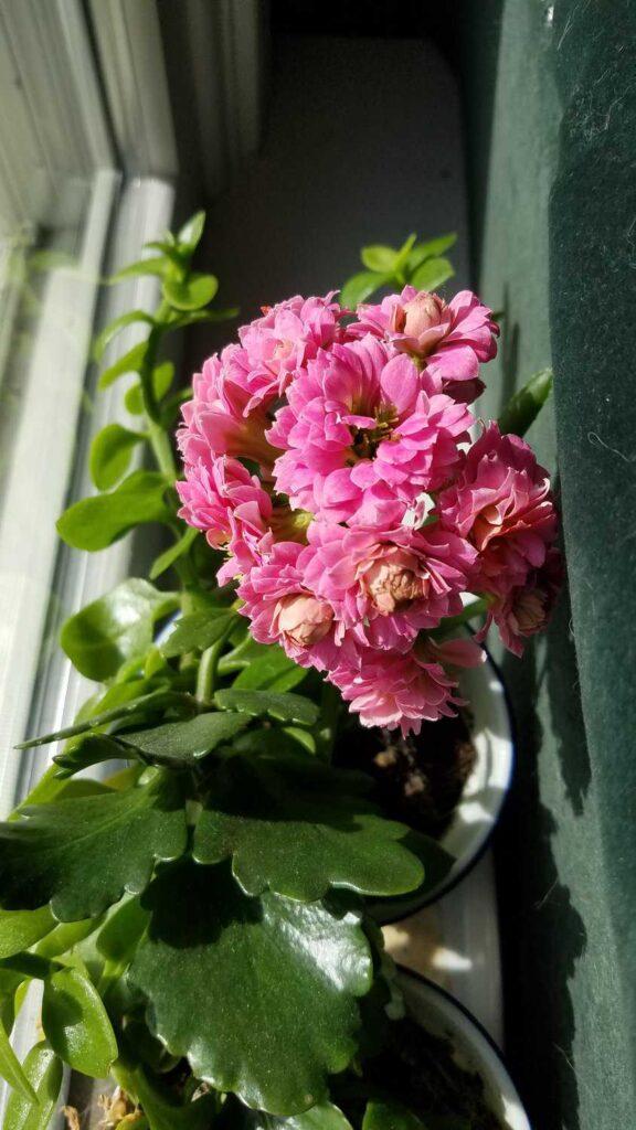 pink blooming kolanchoe cactus