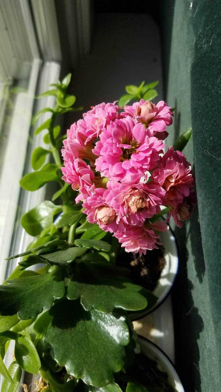 pink kolanchoe flower