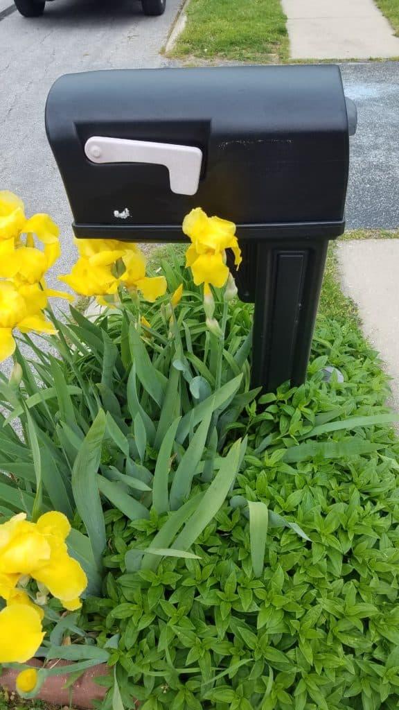 mailbox with yellow irises
