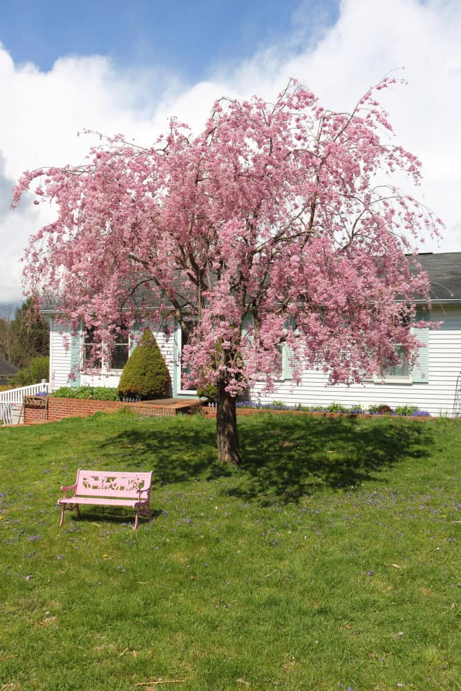 blooming weeping cherry tree with gorgeous pink blossoms and a child's pink bench underneath