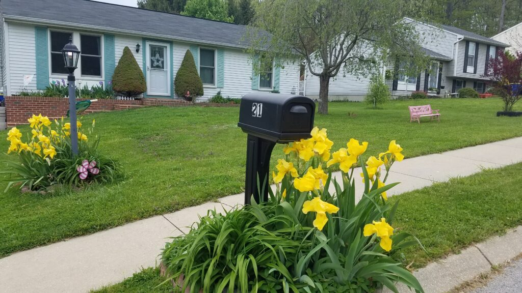 picture of front yard with house in background and mailbox in foreground surrounded by yellow irises