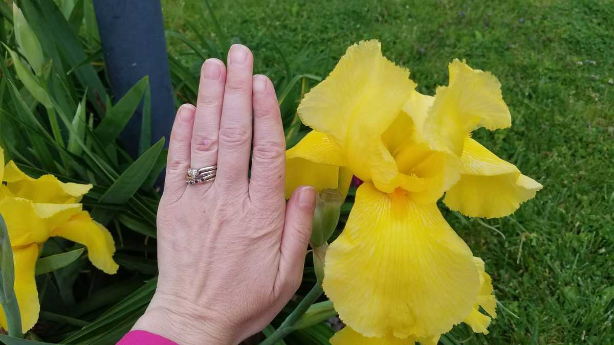 a woman's hand next to a giant yellow iris