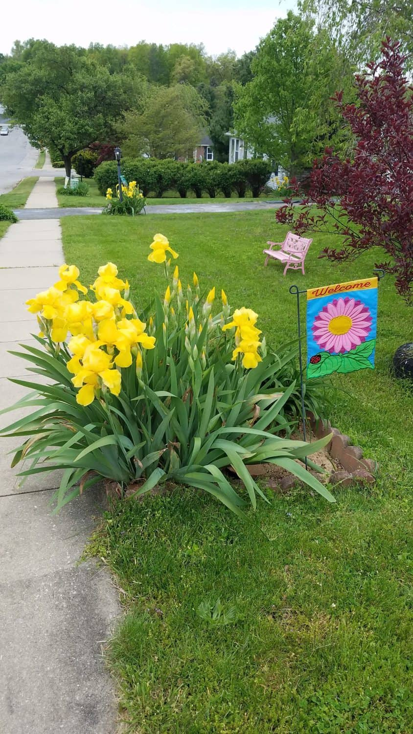 yellow irises along a sidewalk with a miniature garden flag, and a pink bench in the background