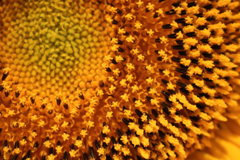 closeup of pollen of sunflower