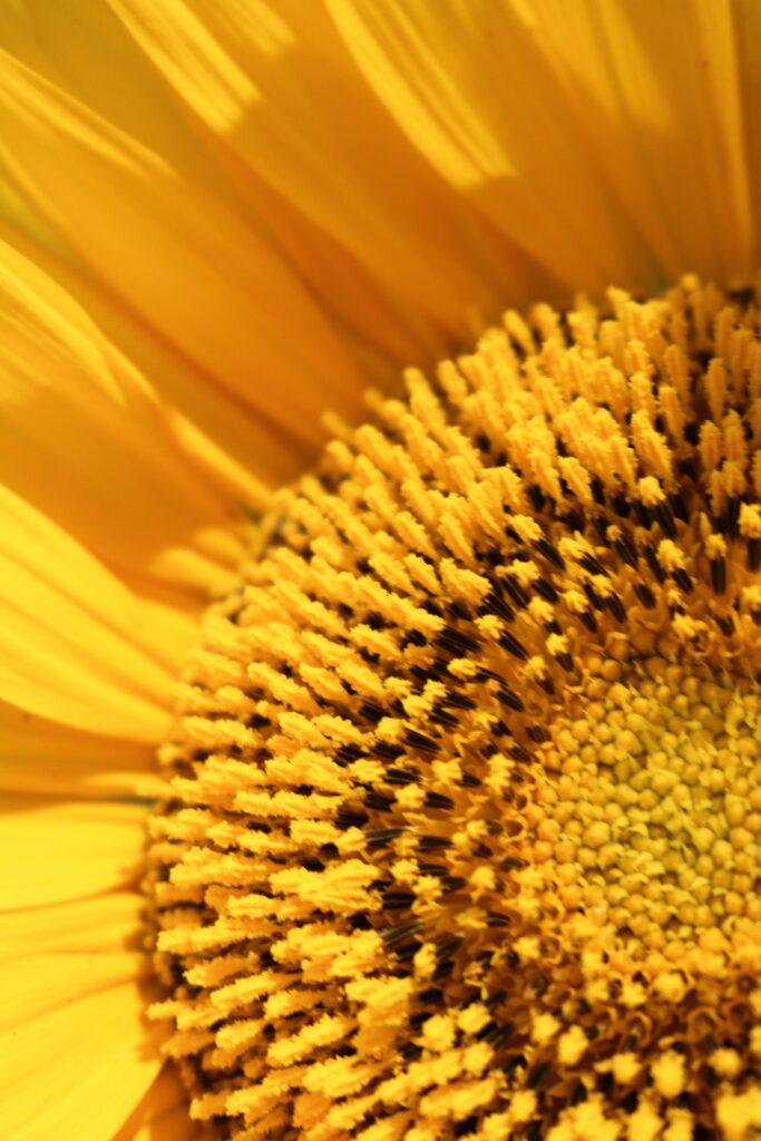 closeup of sunflower pollen