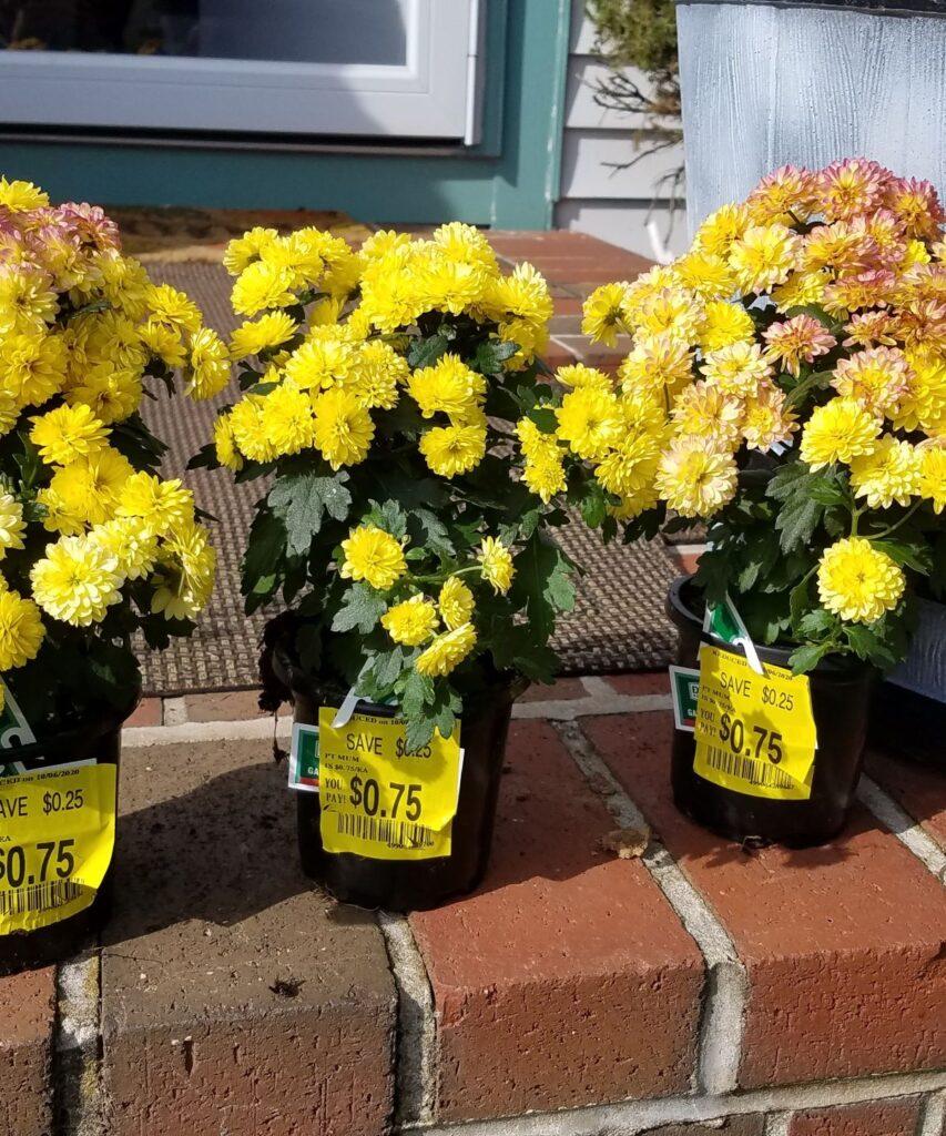 3 yellow mums